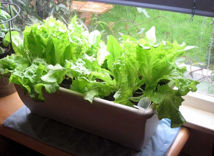 How to Grow Lettuce Indoors?